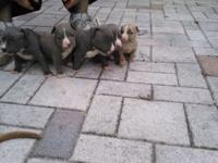 Blue nose pitbull puppies for sale dewormed from 2