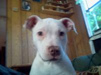 ADBA & UKC registered blue nose pit bull female. Not