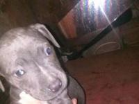 have a 1 year and a half old pitbull for sale. He is
