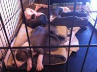 Adorable blue nose pitbull puppies for sale. I am the