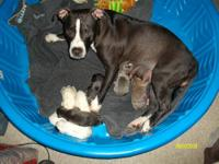 hi my blue nose female dog just recently had a litter