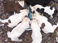 7 blue nose/red nose pitbulls. 4 males 3 females.