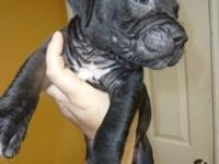 BLUE NOSE PITBULL PUPPIES There are 2 Brindle females &