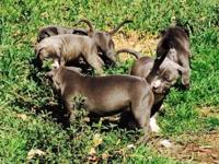 Blue nose American bullies ready to go between 8 to 10