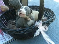 Blue nose pitbull puppies. Beautiful puppies. Parents