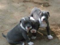 I have two male one female blue nose pitbull puppies