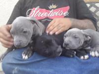 Animal Type: Dogs Breed: Pitbull male & Female blue