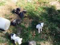 Blue Fawn x Blue Gotti x Bully This ad was posted with