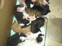 Bluenose pit pups $400 ready November 8th text or call