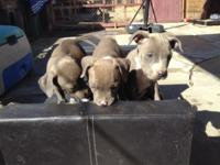 full breed blue nose pitbulls i have 3 girls and 1 boy