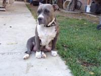 I have one blue nose female pit bull she's a real calm