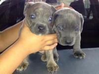 Pitbull puppies for sale. They eat on their own now and