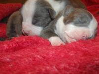 I have 2 adorable All American Full Blue Nose Pitbull