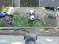 beautiful blu-nose pitbull pus. two boys and two girls.