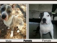 I have one beautiful female pit bull puppy for sale