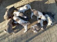 Blue OEB pups available 11-11-2015. IOEBA, tails, dews,