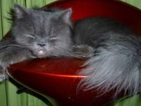 1 year young solid blue male persian kitty with big