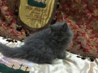 Beautiful 11 week old Blue Persian male kitten CPC who