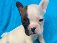 French bulldog female 13 weeks full white body with