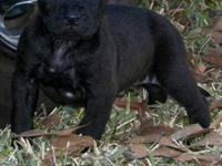 American Pit Bully puppies.They are UKC/ADBA registered