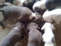 Blue pit bull puppies for sale. Very beautiful,
