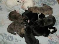 I have beautiful pit bull puppies for sale. Baby Girl,
