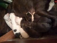 Blue and white pit bull puppies prices vary depending