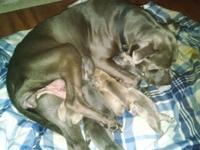 Blue Pitbull Pups Purple Ribbon (UKC) Dame is solid