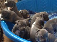 Blue Pitbull puppies for sale. Sire is Kingpins Blue
