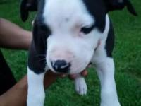 One male left! Birthday June 25th, fully weaned and