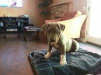 2 yr old male blue pit for sale. Looking to find a good