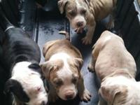 Adorable 8wks blue nose pit bull/eng Bulldog . Looking
