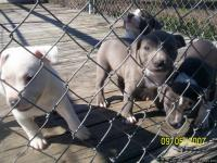 Blue Pit Puppies. Purple Ribbon Dogs. Will sell with or