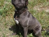 Breeding confirmed! Blue Pit breeding! Pups Due Sept.