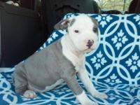 Lovable Blue Pit bull young puppies. Born September