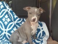 Lovable Blue Pit bull puppies. Born September 12th. UKC