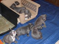 I am selling 4 male blue pitbull puppies that are 8