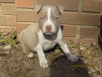 I have 9 beautiful Blue Pitbull puppies for sale. They