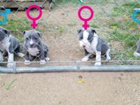 (4) BLUE PITTBULL PUPPIES!!! (3)Blue & (1)Blue