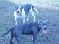 Abkc registered blue pitbull young puppies en route.