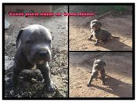 I have some nice American blue Pitbull (American Bully)