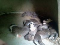 8 blue brindle pitbull puppies for sale with papers.