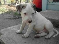 I have a blue and white male pitbull puppy I need to