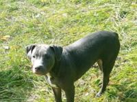 beautiful blue female pit bull puppy for sale. she is