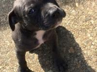 I have a nice blue Pitbull puppy for sale. She comes