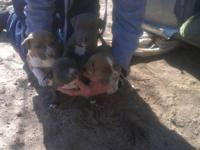 Blue pitt bull puppies..born Jan 15, 2013..dewormed and