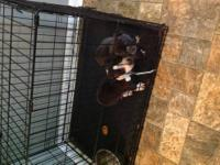 I have 2 blue Pitt bull terrier pups for sale the last