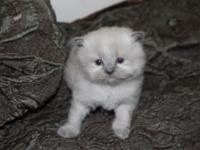 Blue Point Himalayan Male Kitten, Born August 25th.