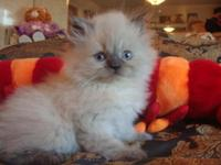 Beautiful Blue-Point Himalayan- Persian kitten 8 weeks