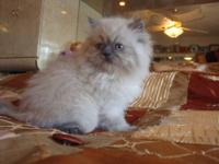Gorgeous Blue-Point Himalayan-Persian 8 weeks old